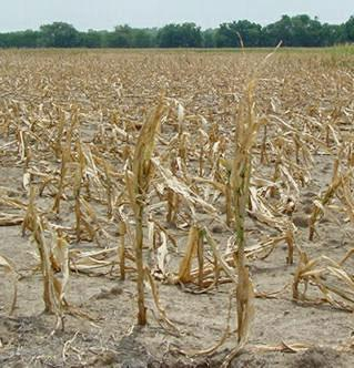 Potential world food crisis looms  as US corn production plummets