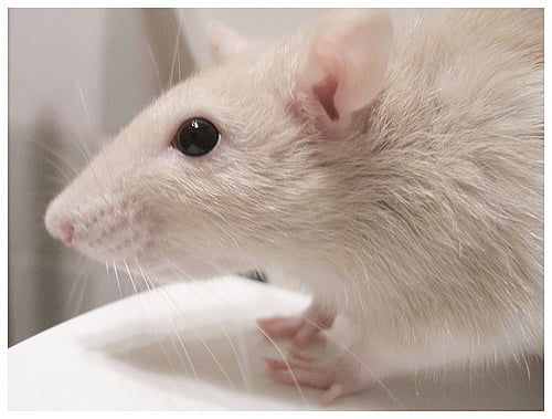 rats are actually kind and generous creatures